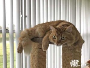 orange tabby cat on top of cat ttee