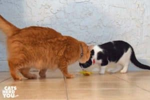 orange tabby cat and black and white tuxedo cat look at chick