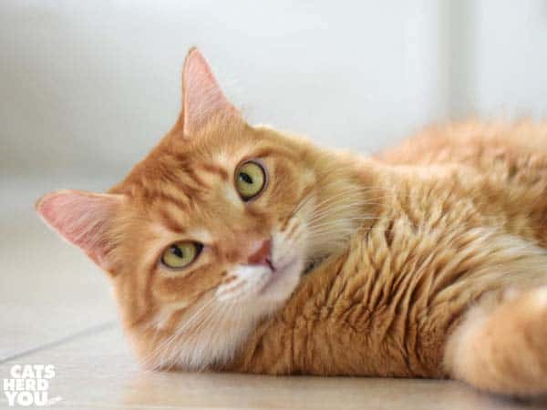 orange tabby cat lounges