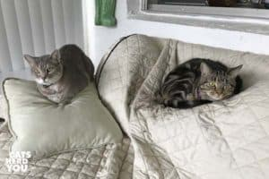 gray tabby cat and one-eyed brown tabby cat sit together on sofa