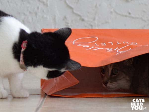 black and white tuxedo kitten looks at gray tabby cat in orange bag