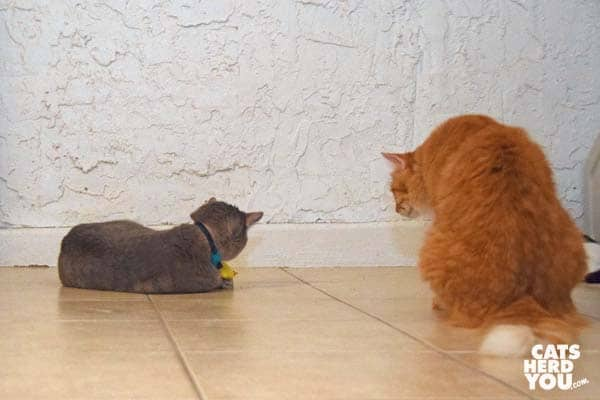 orange tabby cat watches gray tabby cat play