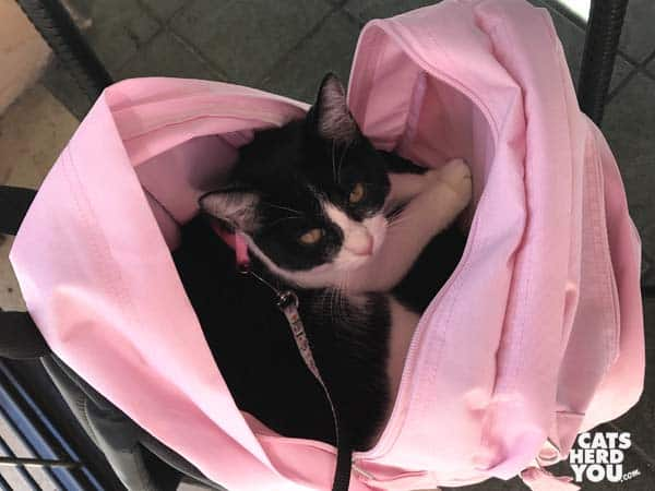 black and white tuxedo cat in pink backpack