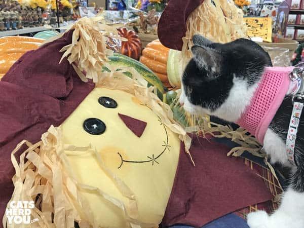 black and white tuxedo kitten looks at scarecrow