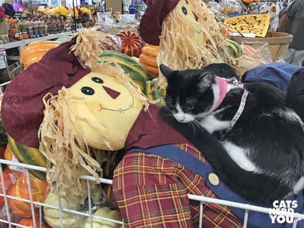 black and white tuxedo kitten sits on scarecrow