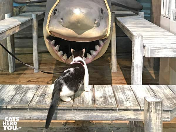 black and white tuxedo cat looks at shark