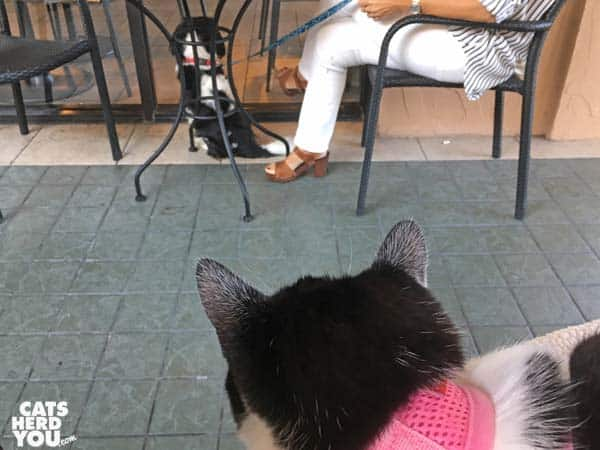 black and white tuxedo kitten watches dog at coffee shop patio