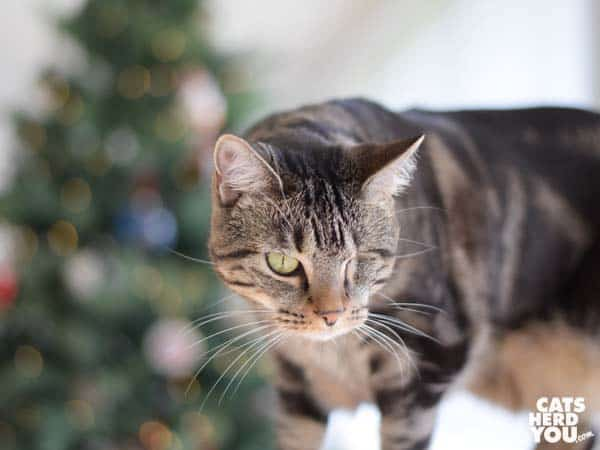one-eyed brown tabby cat in front of christmas tres