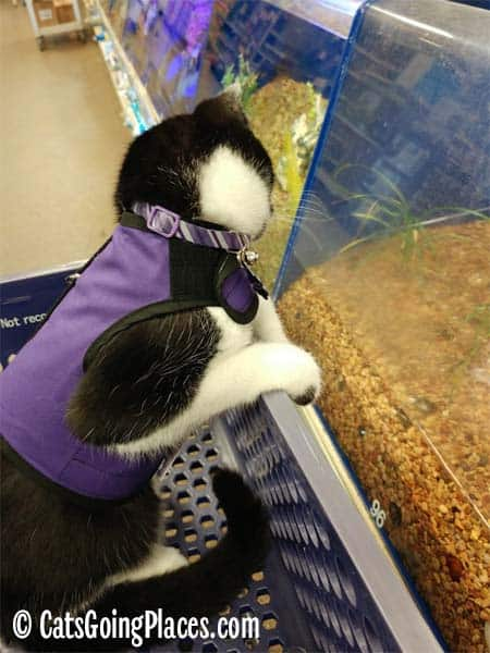 black and white tuxedo cat looks at fish in pet store