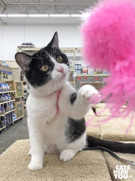 black and white tuxedo cat plays with pink toy