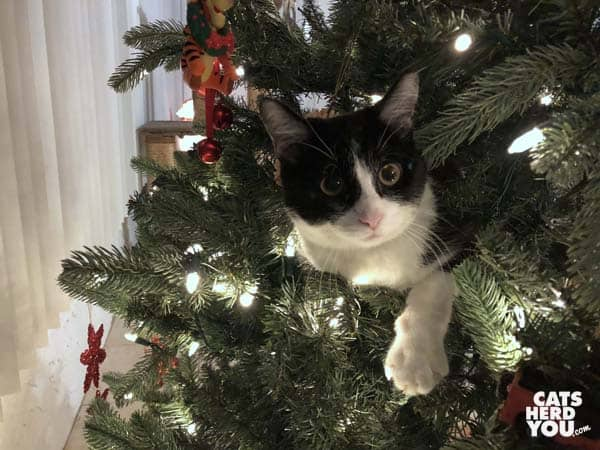 black and white tuxedo kitten in christmas tree