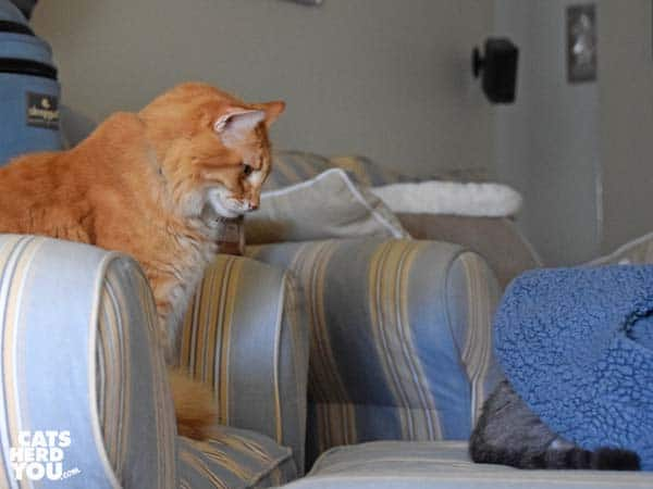 orange tabby cat looks at gray tabby cat's rear end