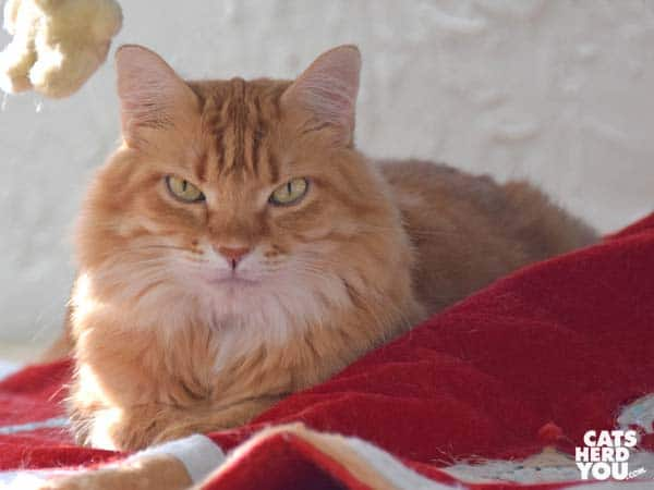 orange tabby cat under christmas tree