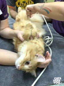 orange tabby cat on his back in veterinary exam room
