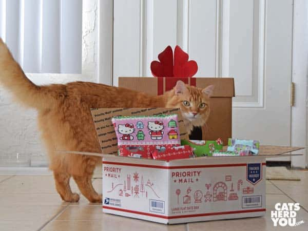 orange tabby cat looks at US priority mail box full of wrapped gifts