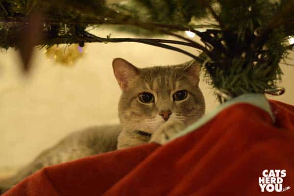 gray tabby cat under christmas tree