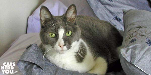 gray and white cat among pillows