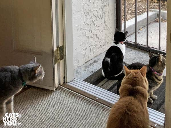 gray tabby cat, black and white tuxedo kitten, orange tabby cat, and one-eyed brown tabby cat look out screen door