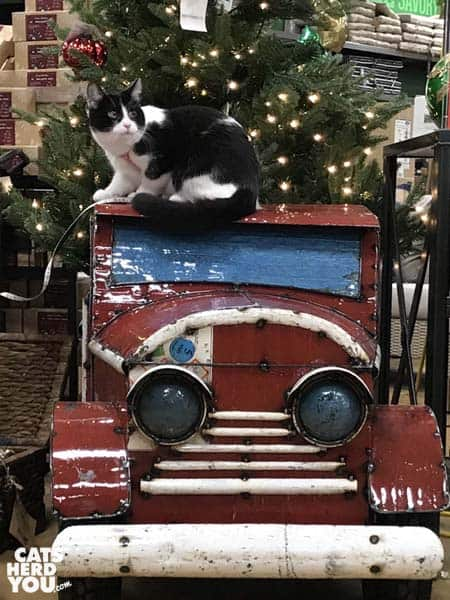 black and white tuxedo cat sits on red truck in front of Christmas tree