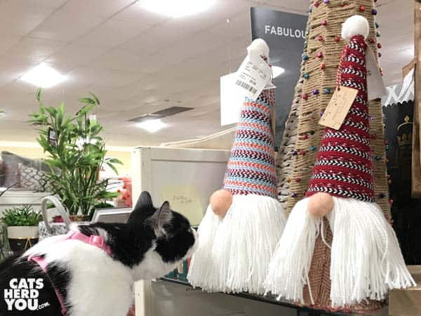black and white tuxedo cat looks at strange santas
