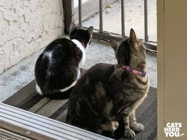 black and white tuxedo kitten and one-eyed brown tabby cat look out screen door