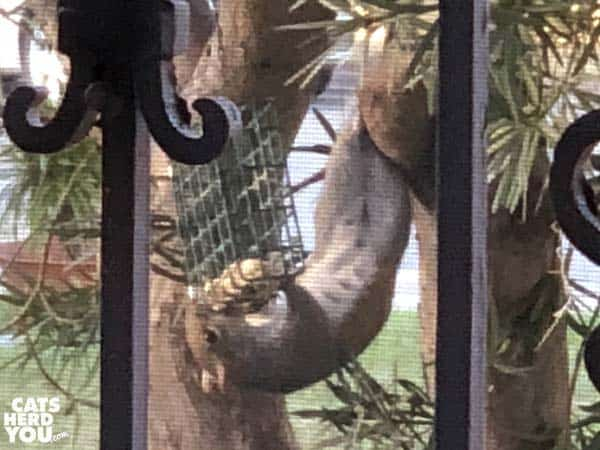 acrobatic squirrel eats upside-down