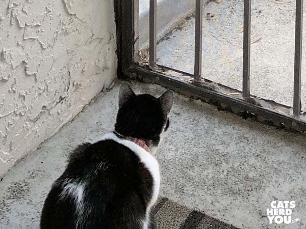 black and white tuxedo kitten looks out screen door