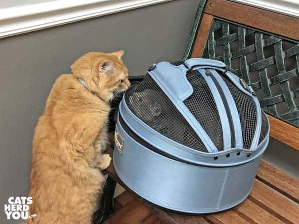 Orange tabby cat looks into sleepypod carrier at gray tabby cat