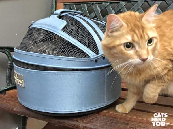 orange tabby cat next to gray tabby cat in sleepypod carrier