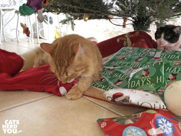orange tabby cat attacks Christmas stocking