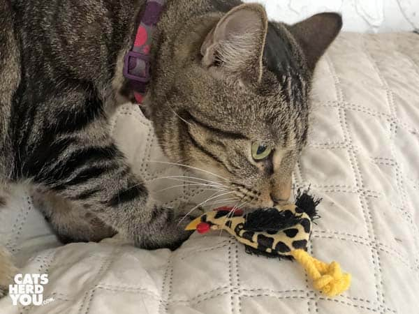 one-eyed brown tabby cat examines toy