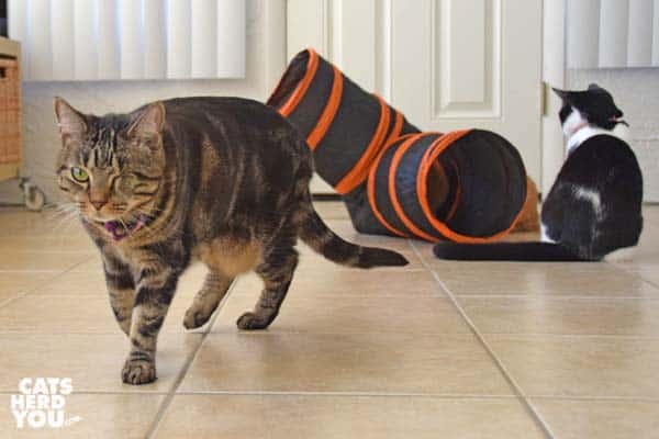 one-eyed brown tabby cat walks away from tuxedo kitten and orange tabby cat playing with tunnel