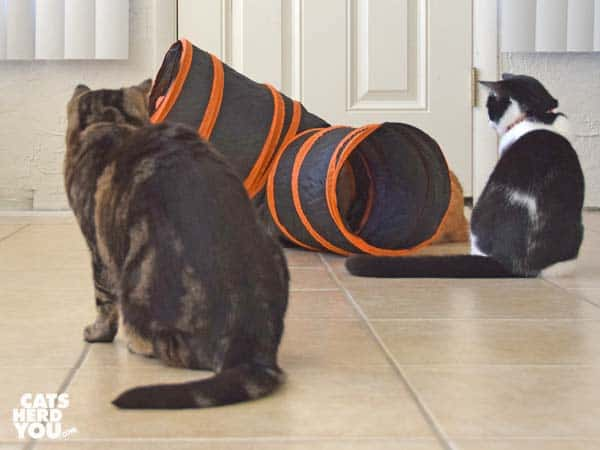 brown tabby cat looks at tuxedo kitten and orange cat playing with tunnel