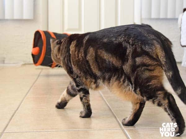 brown tabby cat approaches tunnel