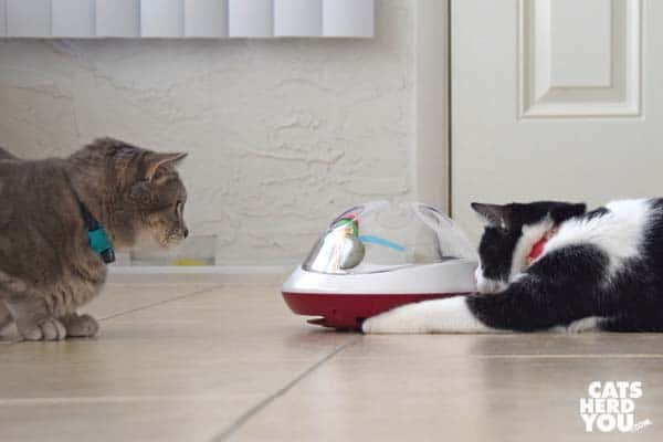black and white tuxedo kitten plays with ufo toy while gray tabby cat looks on
