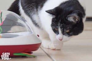 black and white tuxedo kitten with powder on face looks at ufo toy