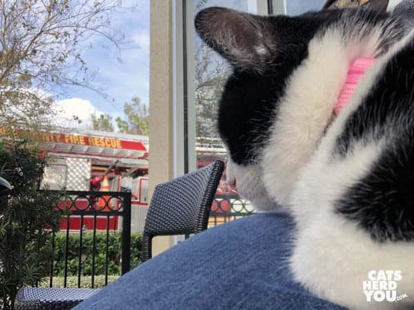 black and white tuxedo cat looks at fire truck