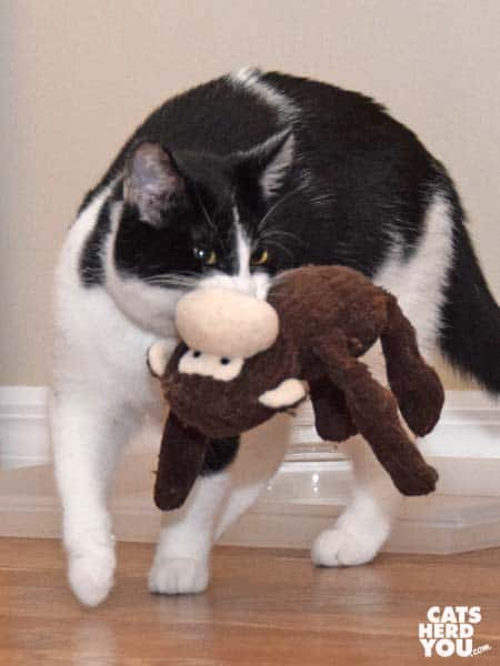 black and white tuxedo cat carries plush monkey toy