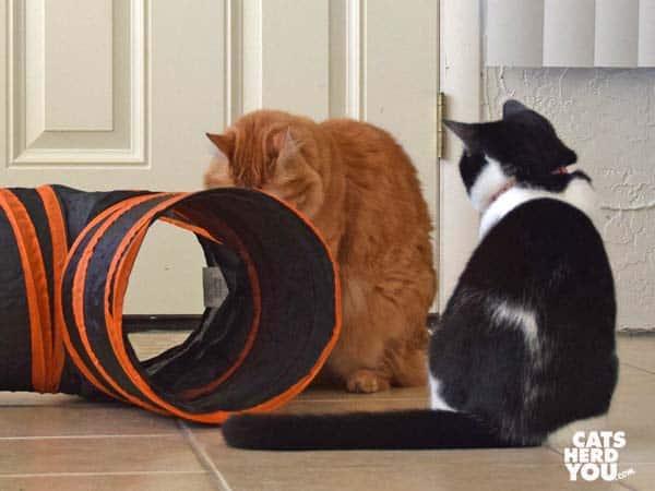 black and white tuxedo kitten looks at orange tabby cat next to tunnel