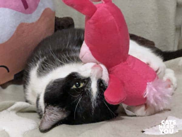 black and white tuxedo kitten plays with pink bunny toy