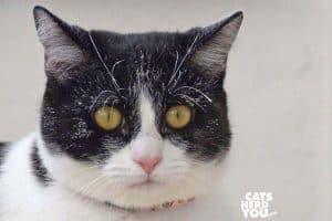 black and white tuxedo kitten with white powder on face