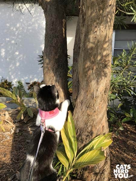 black and white tuxedo kitten climbs tree