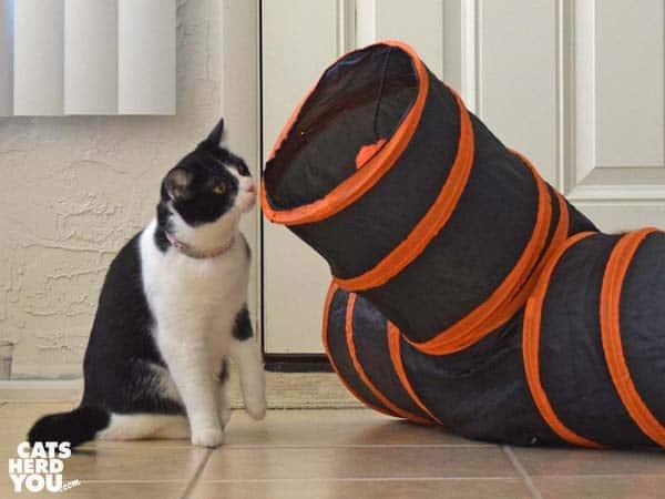 black and white tuxedo kitten looks at play tunnel