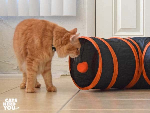 orange tabby cat looks into tunnel