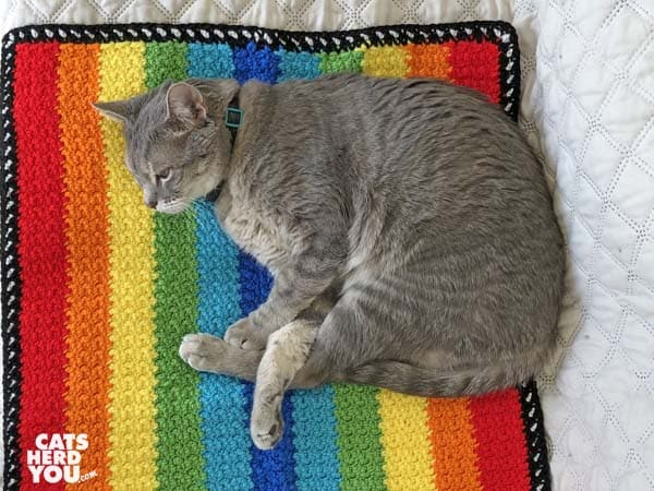 gray tabby cat lays on rainbow afghan