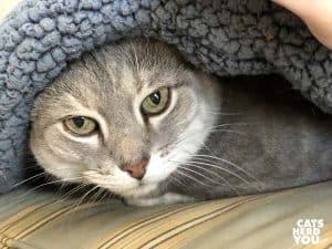 gray tabby cat under blue sherpa