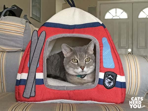 gray tabby cat in tent