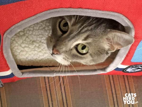 gray tabby cat looks up from tent