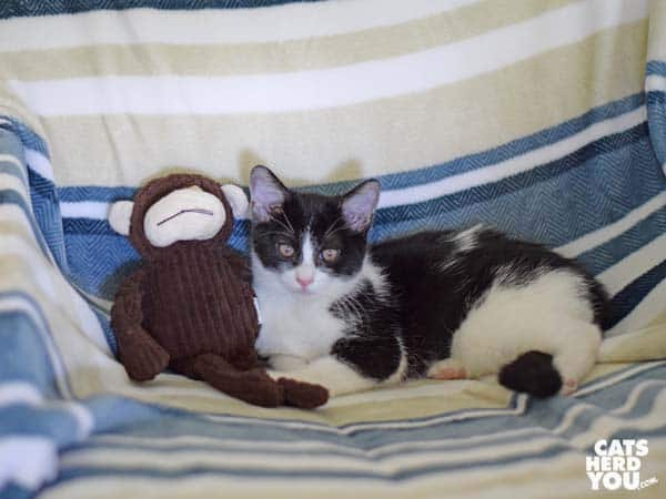 black and white tuxedo kitten sits next to plush monkey