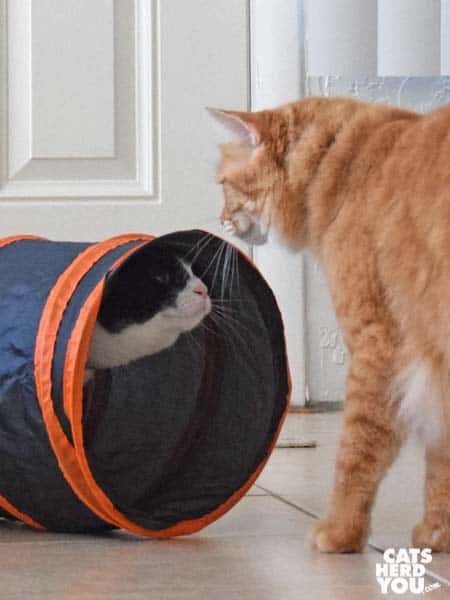 black and white tuxedo kitten looks out of tunnel at orange tabby cat